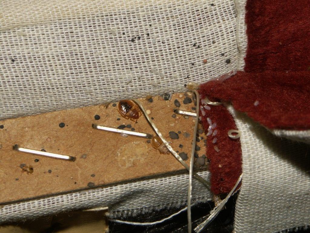 Výskyť, hniezdo a larvy ploštice posteľnej